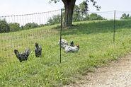 PoultryNet vert, électrifiable