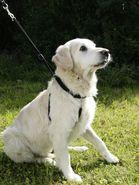 Harnais pour chien Maxi Leader